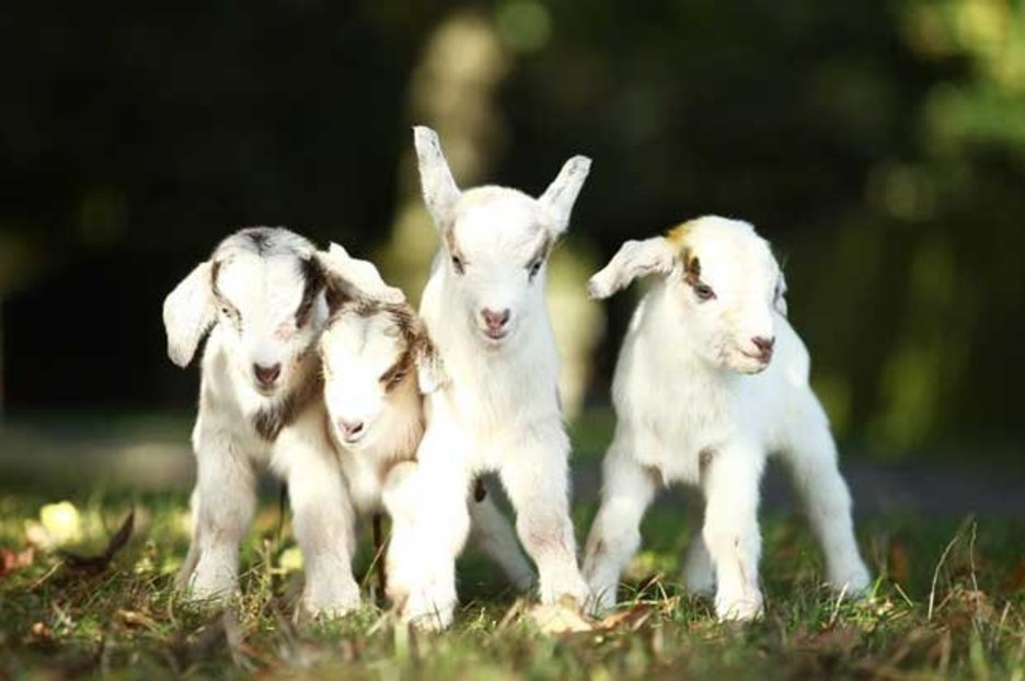 Cute Goat Wallpaper Adorable Mother Goat Gives Birth To Four Cute Baby Goats