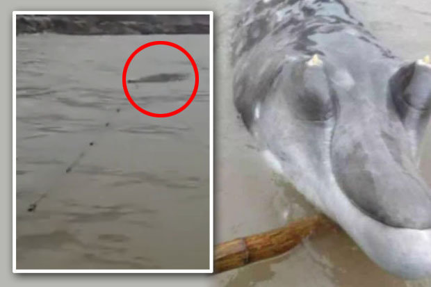 Crocodile dolphin hybrid claims as mystery monster washes up in China  Daily Star