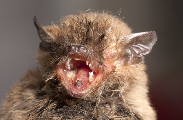 Girl 11 needs emergency treatment for rabies after bat