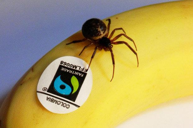 false widow spider sits on banana