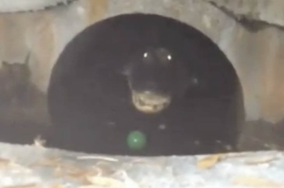 Giant hissing ALLIGATOR found in sewer outside Florida