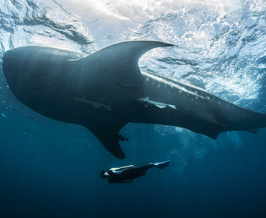 In the Philippines, it is illegal to swim within 4ft of a whale shark. You can be fined or even sent to jail for breaking it