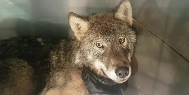 Dog Rescued From An Icy River Turns Out To Be A Wolf