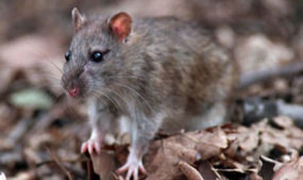 Scientists warn that deadly rat virus is on way to UK | UK | News ...