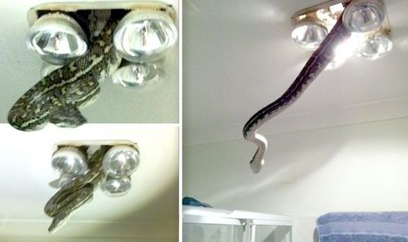 Snake in Queensland Australia bathroom