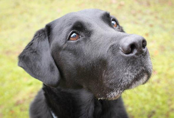 Stock image of a black Labrador