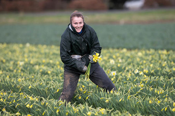 A flower picker in a field of daffodils