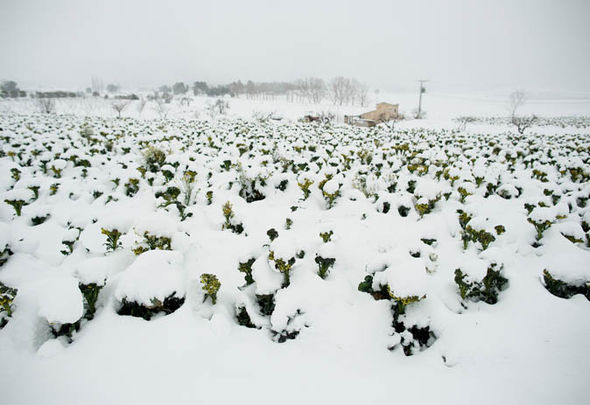 Snow in broccoli fields in Murcia