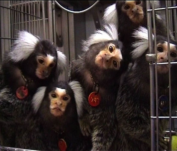 Pictures of marmoset monkeys