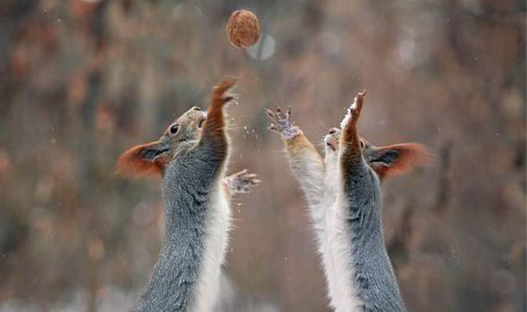 Fall Wallpaper Border Squirrels Go Nuts For A Game Of Football In The Snow Uk