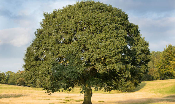 Top 10 Facts About Oak Trees Express Co Uk