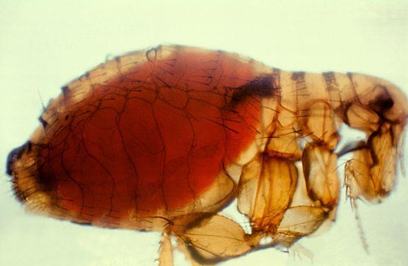 Bubonic plague: Flea