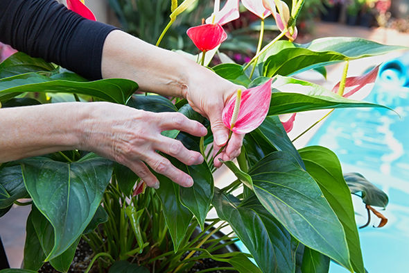 Woman with arthritis gardening