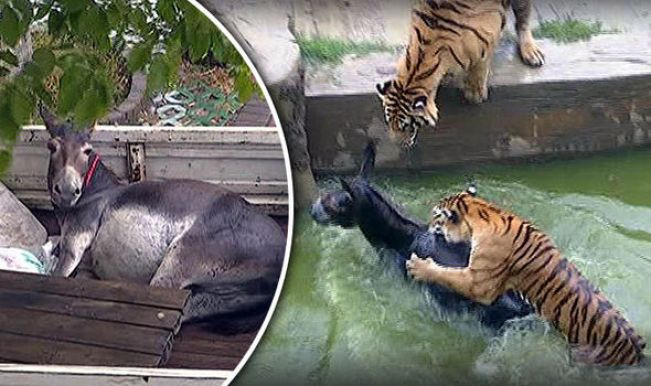 Image result for china zoo tiger donkey
