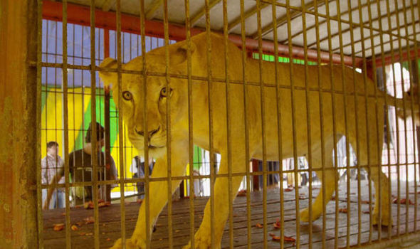 Abused lions in South American circus to be sent back to