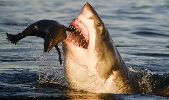 Image result for baby seal eaten by a great white