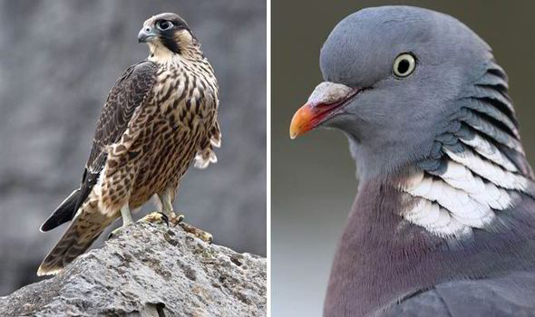 Cute Baby Wallpaper Apps Row Ignited Over Protection Of Pigeons From Hunting