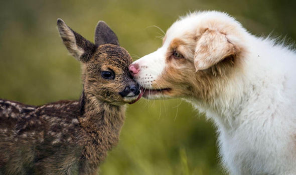 Cute Animals Pictures Show Baby Deer And Dog As Best Friends Nature News Express Co Uk