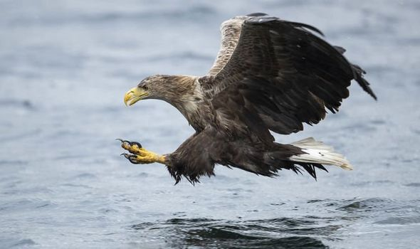 Fears eagles will kill piglets, lambs and cats amid UK reintroduction plan