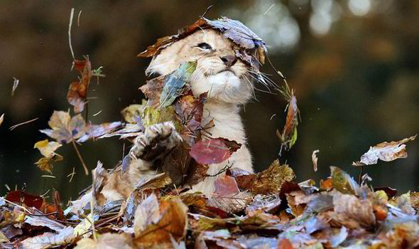Fall Leaves Falling Wallpaper A Winter Wonderland Karis The Lion Cub Plays With Falling