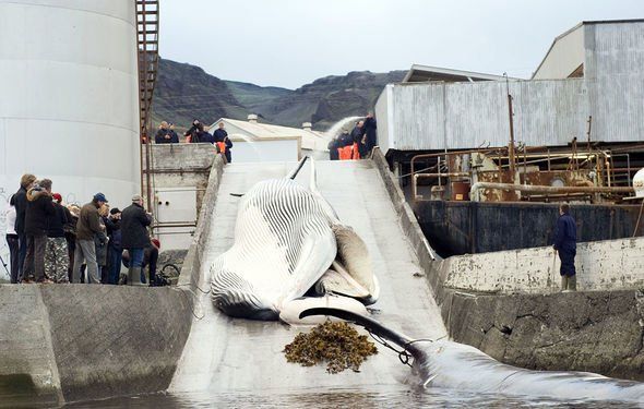 Iceland resumed commercial whaling in 2006 (Image: Halldor Kolbeins/Getty)