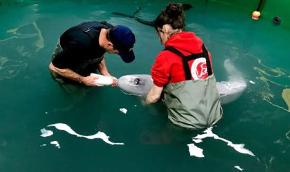 beluga whale baby save rescue battle nursing express diego san team amazing