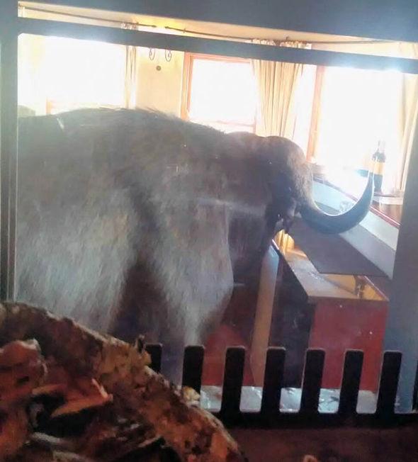 buffalo in a bar