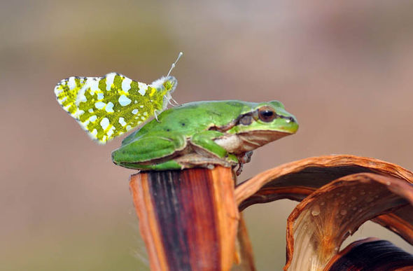 Frog caught by surprise as butterfly lands on its nose