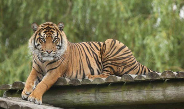 Save Tigers From Being Wiped Out Nature News Express