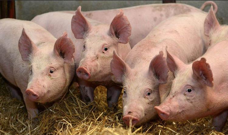 Cute Piglets Wallpaper Scientists Create Super Pigs Immune To Mystery Swine