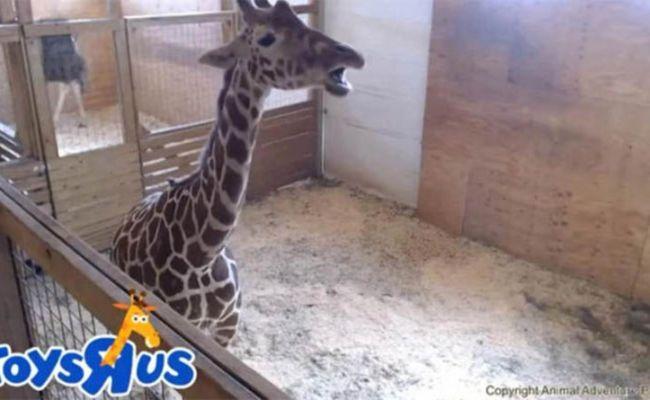 April The Giraffe News Toys R Us Sponsors Animal