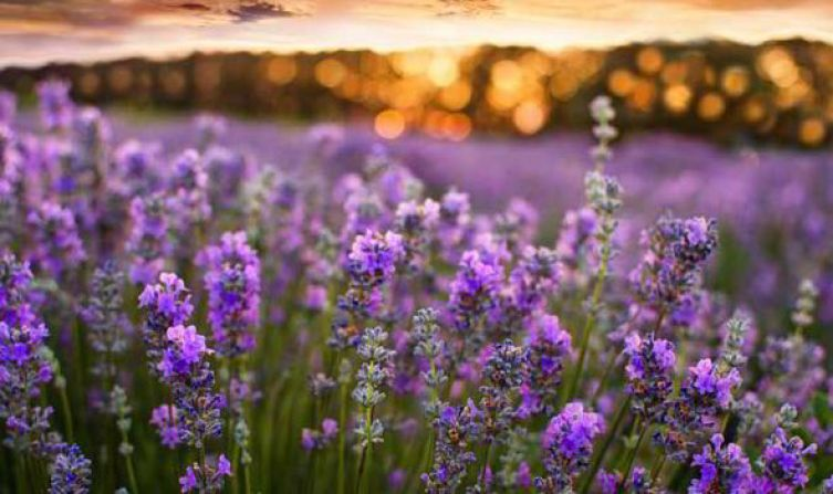 Image result for lavender