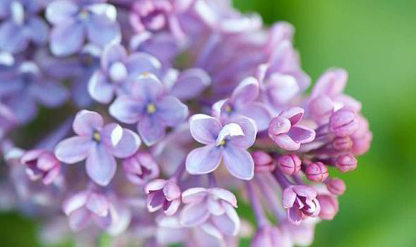 Four of the best lilac bushes for small gardens and how to care for them  Garden  Life  Style
