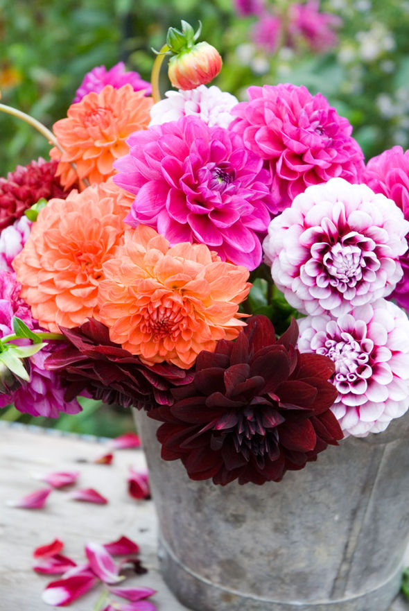 Fall Colored Background Wallpaper Alan Titchmarsh Tips On Growing Dahlias Garden Life
