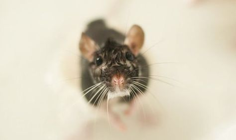 How rats can climb up through YOUR toilet - do you need to worry?