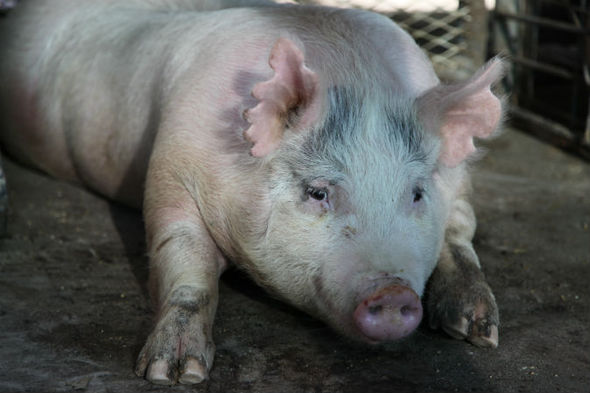 One of the sows who is pregnant with a human-pig hybrid.