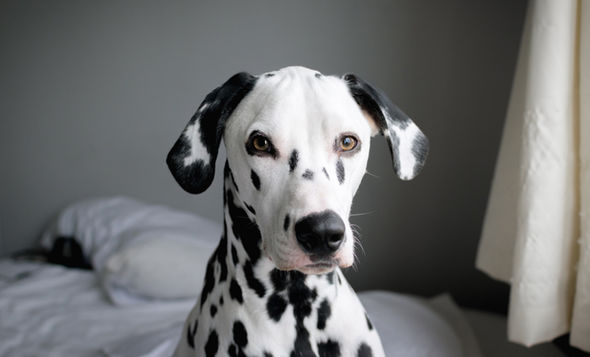 Dalmatian Puppy  How to spot a 'dog' in your investment portfolio | City & Business | Finance Dalmatian Puppy 1467661