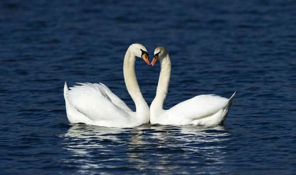 Spare A Thought For Swans This Valentines Day John