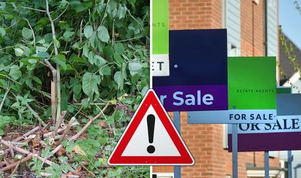 Japanese knotweed: How much can Japanese knotweed knock off price of YOUR home? 1