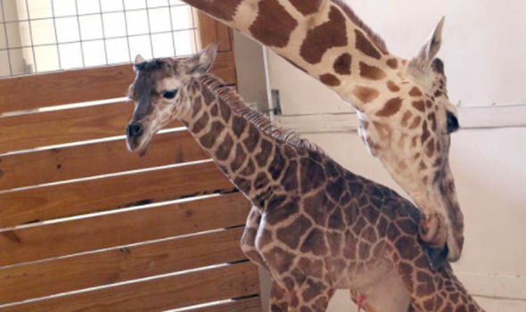 April the giraffe tends to her calf