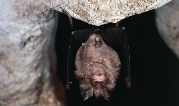 Researchers in Thailand start testing horseshoe bats for ...