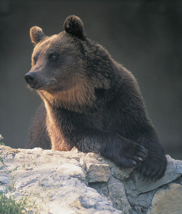 There are thought to be around 50 bears living in Italy's north-east