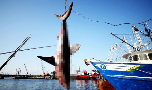 Sharks are fished for their meat and fins