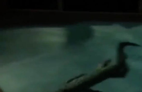 The alligator was dragged out of the pool