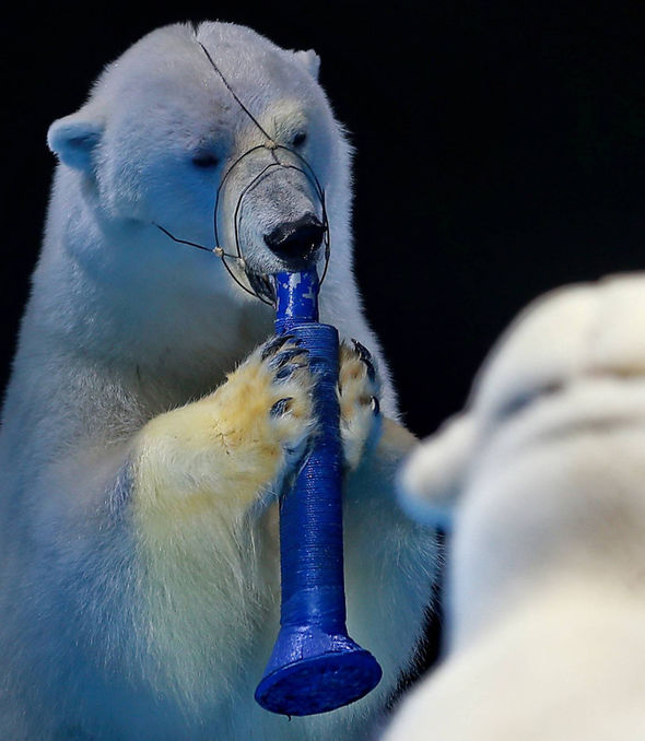 EXPOSED Horrifying reality of polar bears forced to SING
