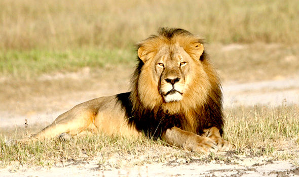 Cecil the Lion pictured before he was hunted
