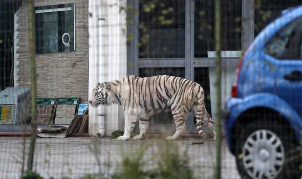 The Bengal tiger escaped from a circus and was free to roam the streets