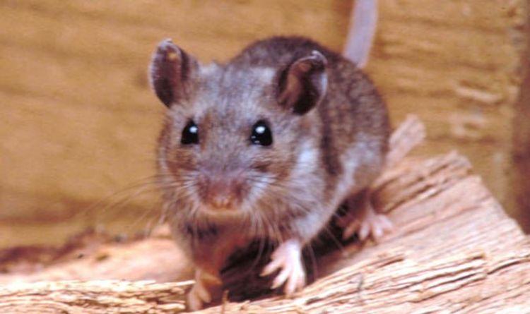 Argentina RAT virus: Incurable disease kills 11 after spreading at ...