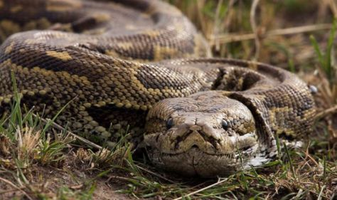 Man, 65, suffers horror toilet trip after 5ft python emerges to 'pinch' his genitals