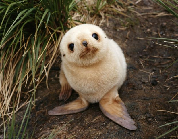 Fur seal pup, this baby fur seal is rarer than most. The lighter blonde coat is unusual on the adorable animals, which are found in South Georgia, Antarctica